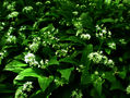 Wild Garlic - A Vitamin Bomb